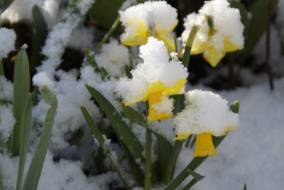 FirstWeekofSpring-flowersinthesnow